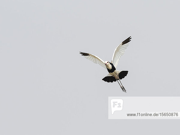 An adult long-toed lapwing (Vanellus crassirostris)  in flight in Mosi-oa-Tunya National Park  Zambia
