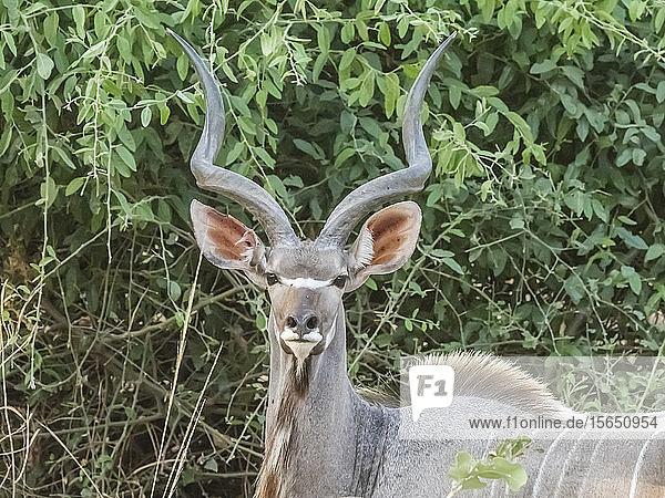 An adult male greater kudu (Tragelaphus strepsiceros)  South Luangwa National Park  Zambia