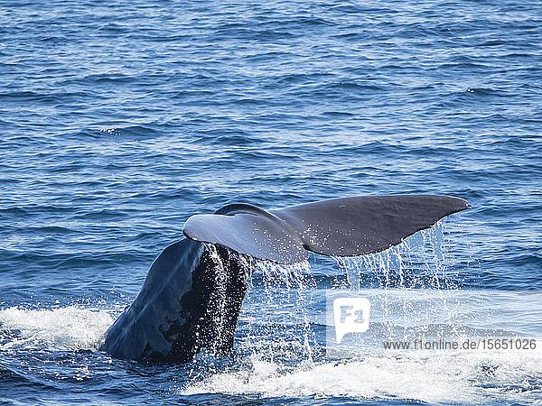Adult sperm whale (Physeter macrocephalus) diving off Isla San Jose  Baja California Sur  Mexico