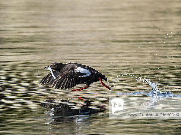 An adult pigeon guillemot (Cepphus columba) taking flight with a fish in Geographic Bay  Katmai National Park  Alaska  United States of America