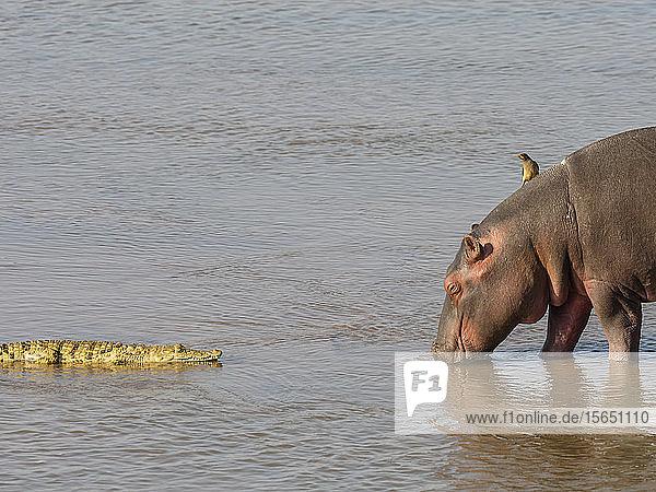 Hippopotamus (Hippopotamus amphibius)  with Nile crocodile in South Luangwa National Park  Zambia