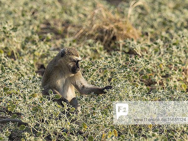 An adult vervet monkey (Chlorocebus pygerythrus)  South Luangwa National Park  Zambia