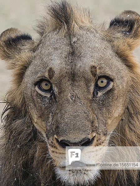An adult male lion (Panthera leo)  South Luangwa National Park  Zambia