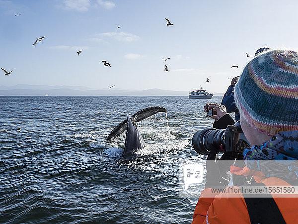 Humpback whale (Megaptera novaeangliae) flukes-up dive in Monterey Bay National Marine Sanctuary,  California,  United States of America
