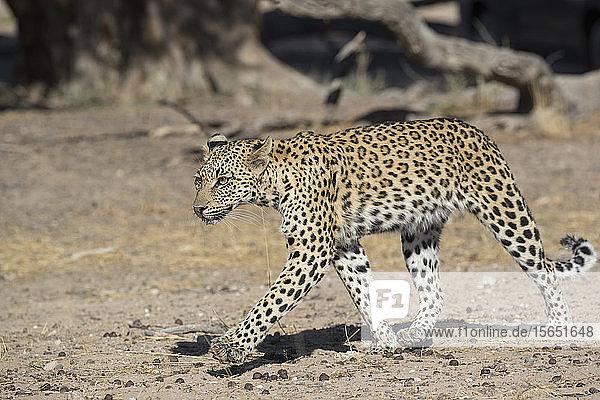 Leopard (Panthera pardus) female  Kgalagadi Transfrontier Park  South Africa  Africa