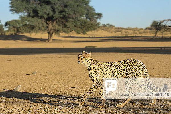 Cheetah (Acinonyx jubatus)  Kgalagadi Transfrontier Park  South Africa  Africa
