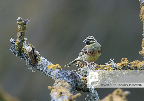 Cirl Bunting male Spain spring