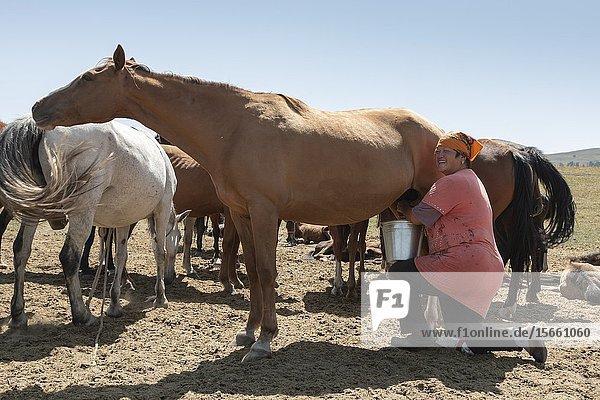 San Tash  Kyrgyzstan - August 13  2019: Nomadic woman milking her horses.
