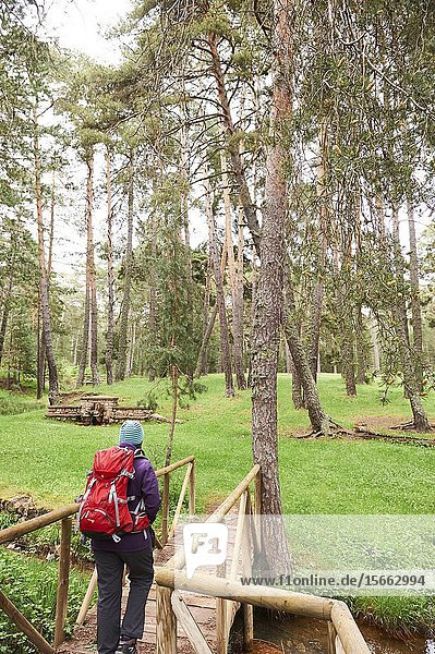 Trekking along Pinus Sylvestris forest near Checa  in Alto Tajo Natural Park  (Guadalajara Province  Castilla- La Mancha Region  Spain)