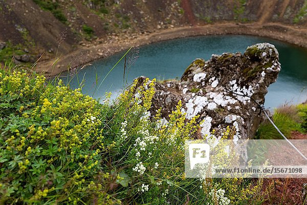 Reykjavik  Iceland  Kerid Volcanic Crater Iceland. Asclepias tuberosa Butterfly Weed growing on volanic crater.