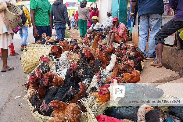 Chickens for sale at the weekly market at Behenjy  Antsirabe  Central Madagascar