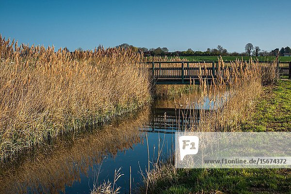 Waterway and reed beds at Wicken Fen Nature Reserve in Cambridgeshire  East Anglia  England  UK.