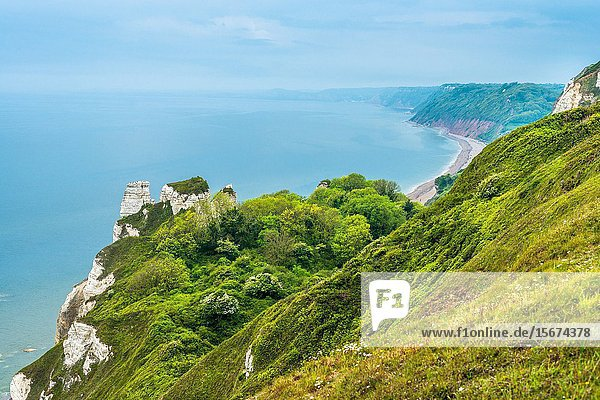 Beer Head looking towards Branscombe Mouth the undercliff is a nature paradise within chalk cliffs.Devon  UK.