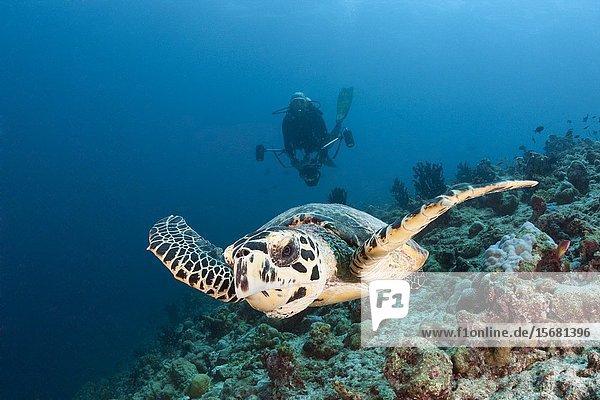 Hawksbill Sea Turtle  Eretmochelys imbricata  South Male Atoll  Indian Ocean  Maldives.