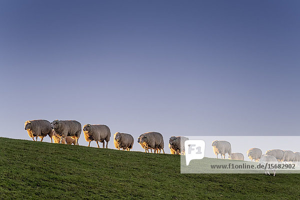 Flock of sheeps on a dyke  Keitum  Schleswig-Holstein  Deutschland  Europa