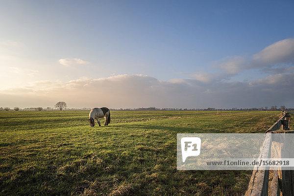 Pony on pasture  Elbmarsch  Kreis Pinneberg  Schleswig-Holstein  Germany  Europe