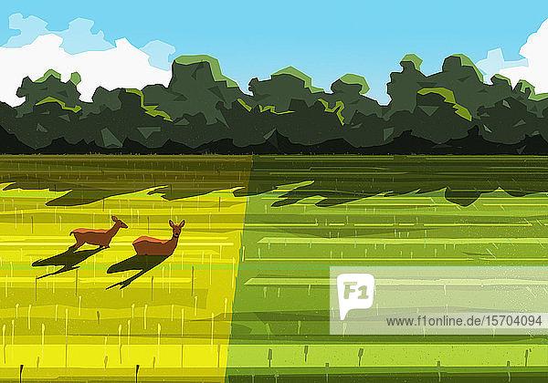 Hirsche entspannen sich in einem sonnigen ländlichen Feld