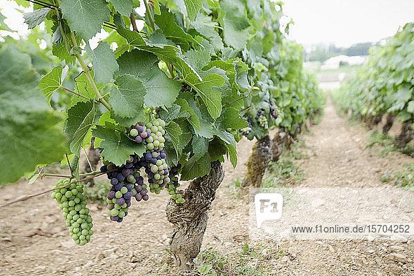Weintrauben an Rebstöcken in einem Weinberg  Beaune  Burgund  Frankreich