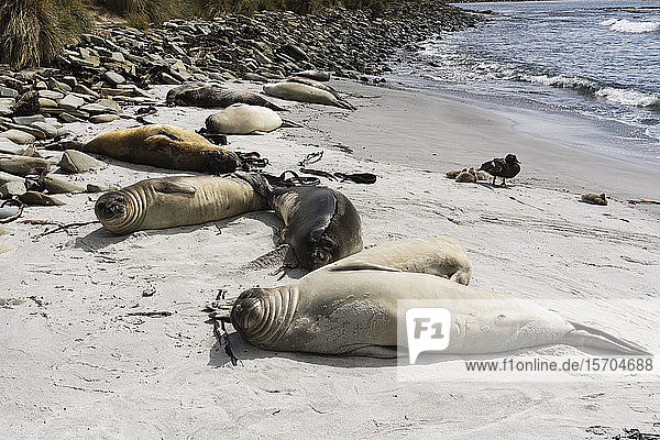Young Southern elephant seals (Mirounga leonina) resting on beach  Falkland Islands