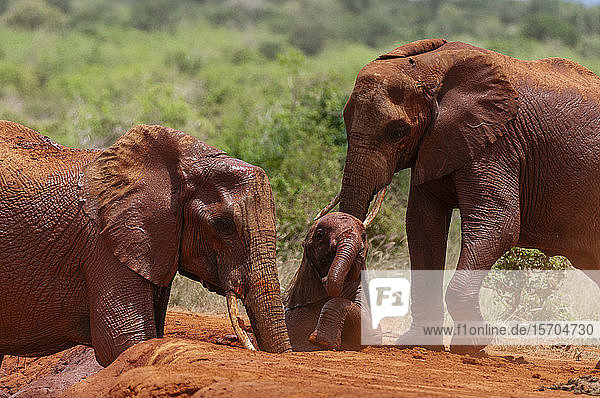 African elephants (Loxodonta africana) helping calf trapped in mud  Tsavo East National Park  Kenya