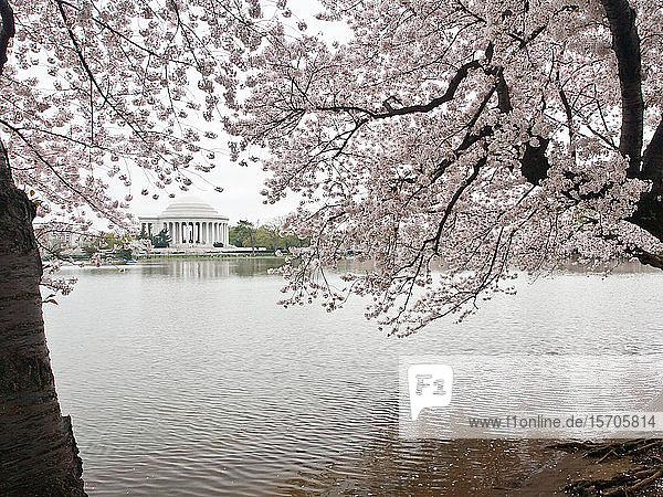 Cherry blossoms  Tidal Basin  and Jefferson Memorial  Washington  DC  United States of America  North America