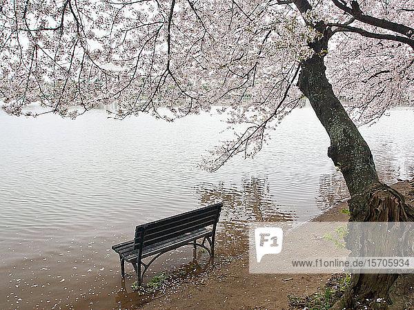 Cherry blossoms and Tidal Basin  Washington  DC  United States of America  North America