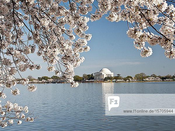 Cherry blossoms  Washington  DC  United States of America  North America