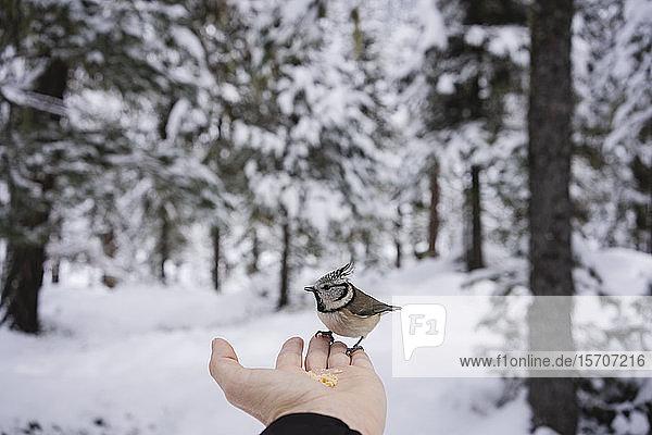 Kleiner Vogel frisst von der weiblichen Hand im verschneiten Wald. Engadin  Schweiz
