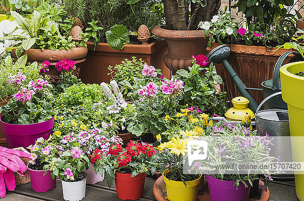 Colorful freshly potted summer flowers