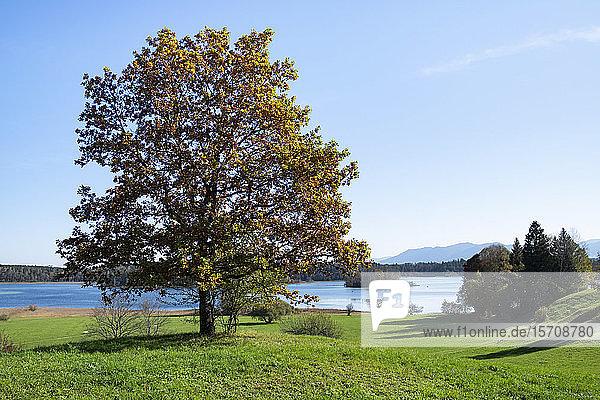 Germany  Bavaria  Tree standing against GrosserOsterseelake