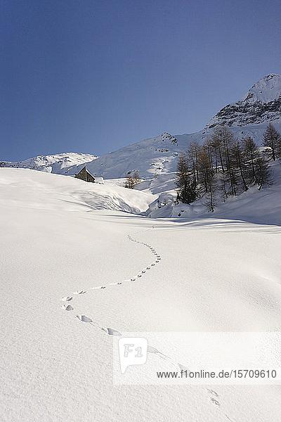Tierspuren im Neuschnee  Valmalenco  Italien