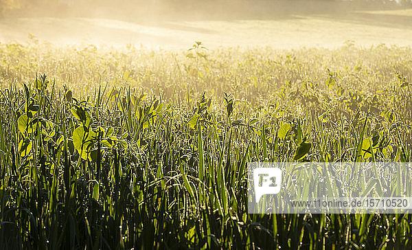 Deutschland  Oberbayern  Tölzer Land  Wiese im Morgenlicht