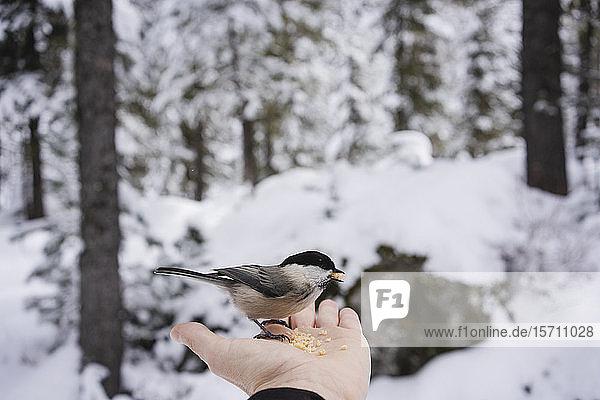 Kleiner Vogel frisst von der weiblichen Hand im verschneiten Wald  Engadin  Schweiz