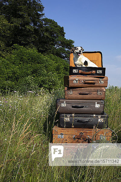 Stack of old leather suitcases with little dog on a meadow