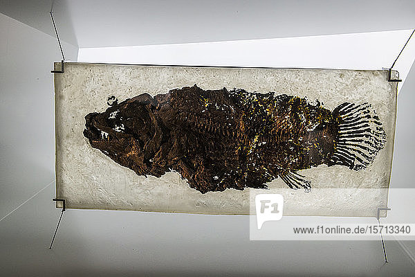 Germany  Hesse  Messel  Well preserved fossil ofMesselPit