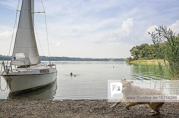 Golden Retriever und Segelboot am Seeufer