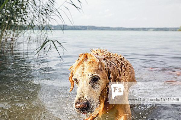 Golden Retriever am Seeufer