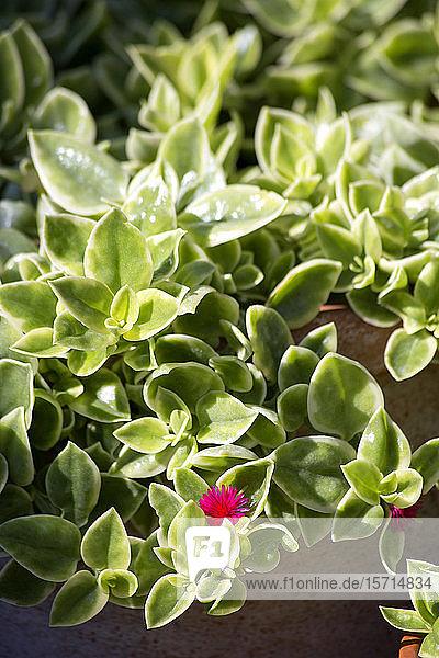 Gewöhnliche Eispflanze  die auf der Terrasse wächst