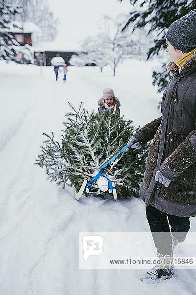 Frau transportiert nach Weihnachten Tannenbaum auf Schlitten zum Kompost  Jochberg  Österreich