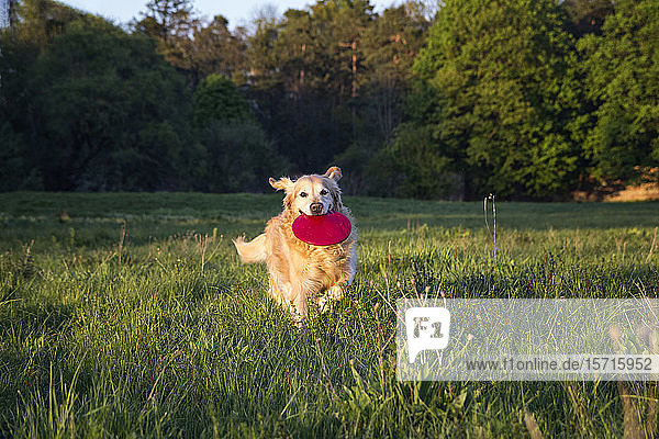 Germany  Bavaria  Munich  Golden Retriever playing with plastic disk in meadow at dusk