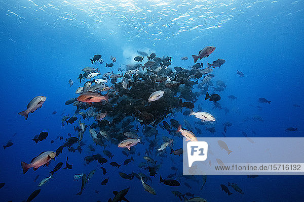 Palau  Shark City  Red snapper spawning