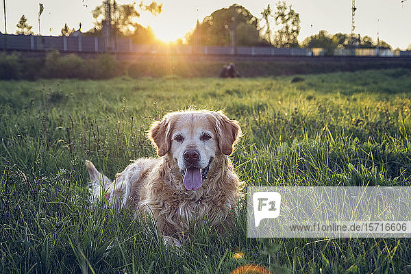 Deutschland  Bayern  München  Porträt eines Golden Retrievers  der bei Sonnenuntergang auf einer Wiese liegt