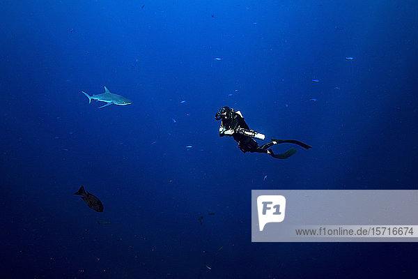 Palau  Blue Corner  Diver and grey reef shark (Carcharhinus amblyrhynchos) underwater