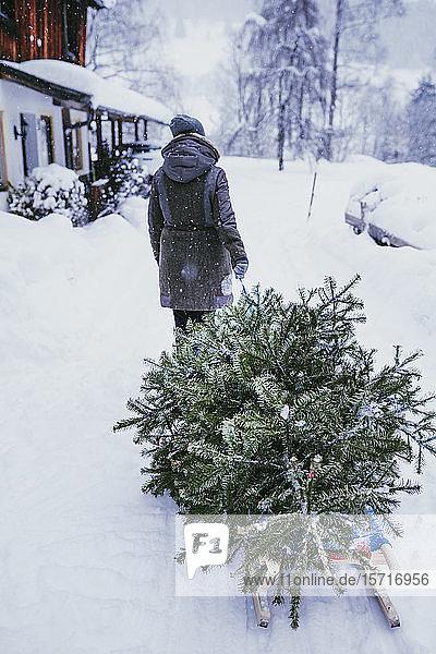 Rückenansicht einer Frau  die nach Weihnachten einen Tannenbaum auf einem Schlitten zum Kompost transportiert  Jochberg  Österreich