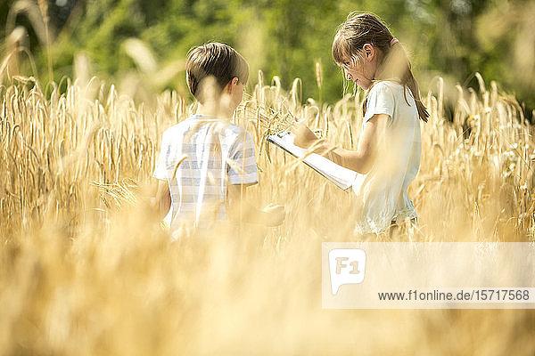 Kinder untersuchen Weizen auf dem Feld