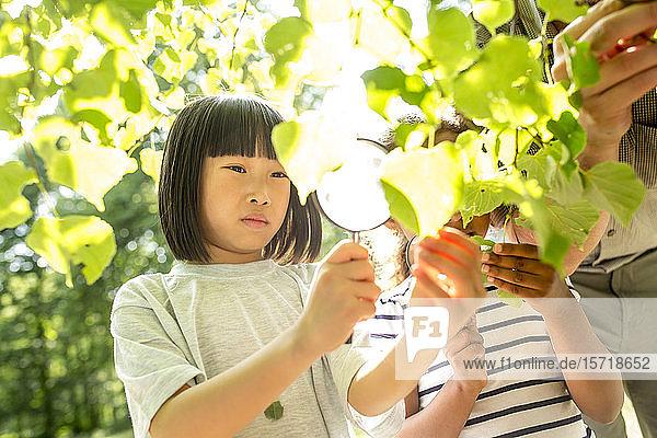 Schulkinder untersuchen Blätter am Baum mit ihren Vergrößerungsgläsern