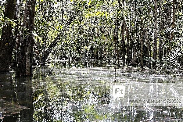Jungle  Alter do Chão  Amazon region  Pará  Brazil  South America