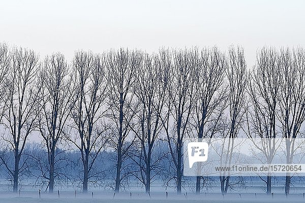 Row of trees in fog  bare trees  Lower Rhine  North Rhine-Westphalia  Germany  Europe