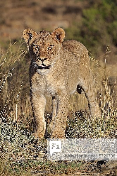 Lioness (Panthera leo)  subadult  Mountain Zebra National Park  Eastern Cape  South Africa  Africa