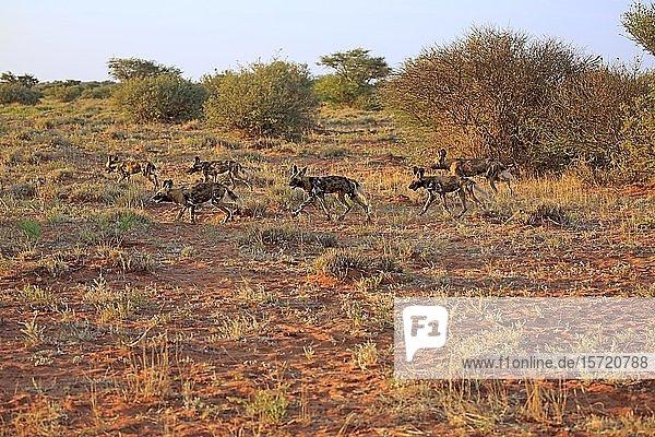 Afrikanische Wildhunde (Lycaon pictus)  adult  Rudel auf Jagd  Tswalu Game Reserve  Kalahari  Nordkap  Südafrika